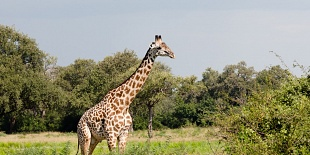 Giraffa di Thornicrof