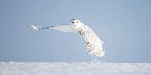 Civetta delle nevi