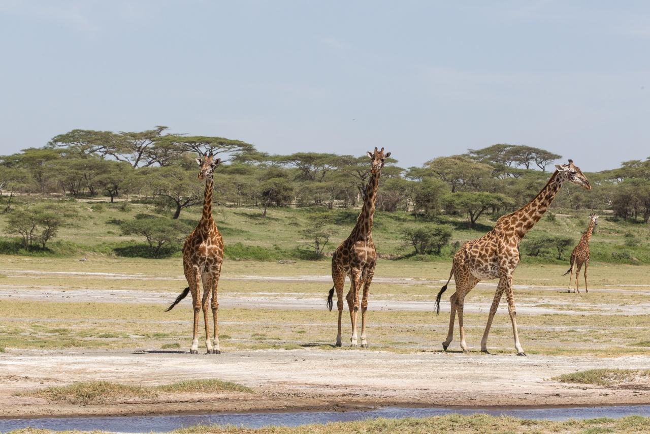Ndutu - Tanzania 2013