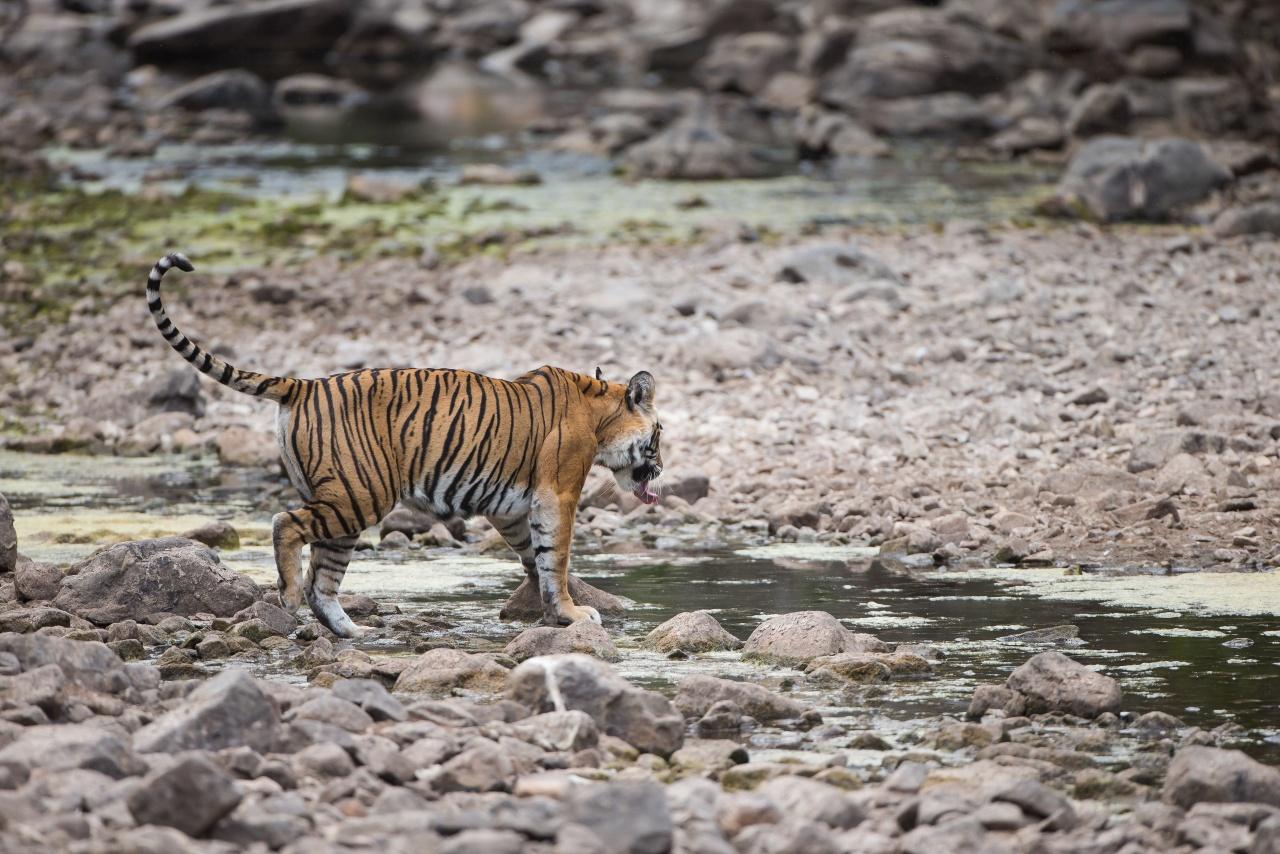 Tigre del bengala - Ranthambore National Park
