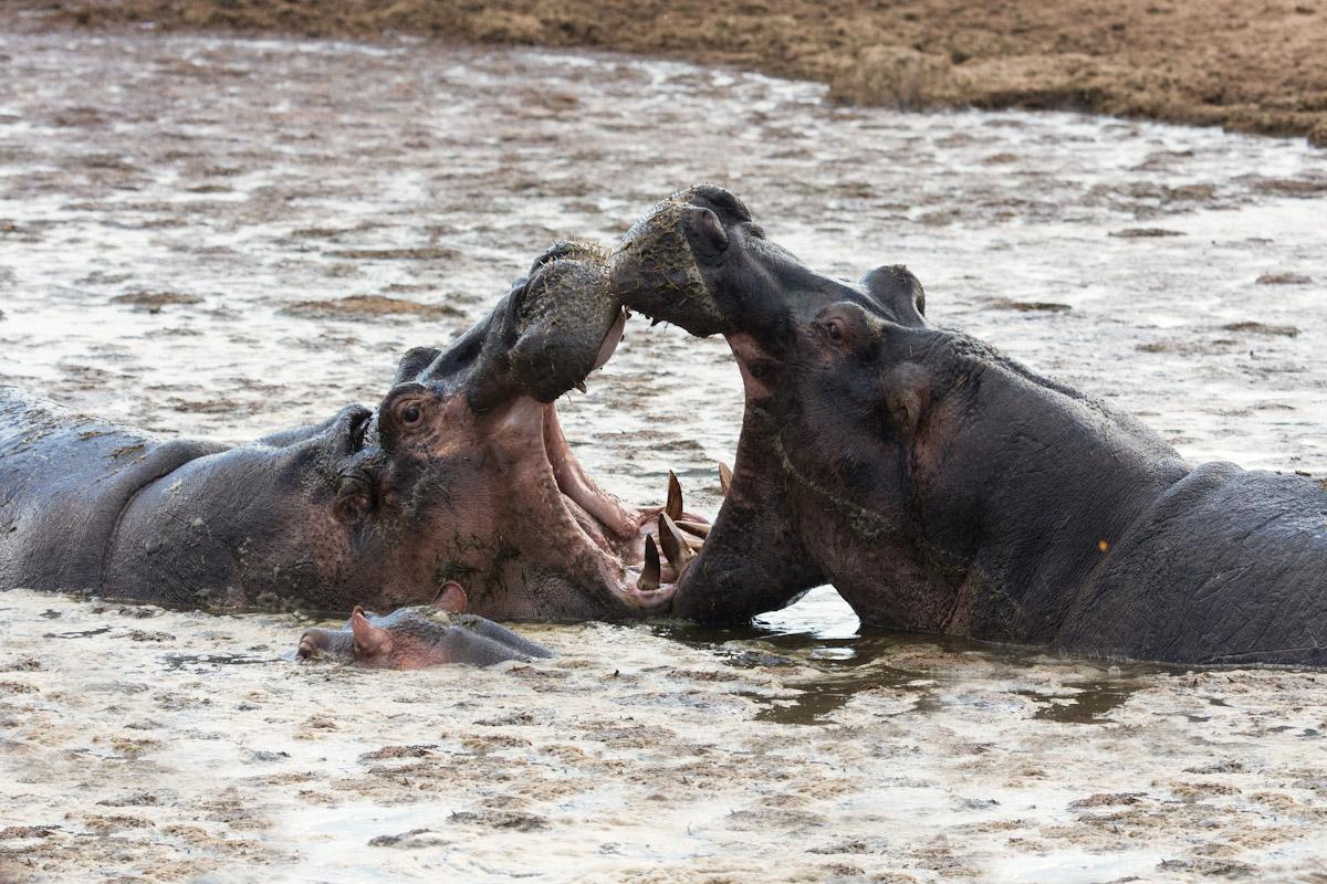 Tanzania 2011-Hippo pool