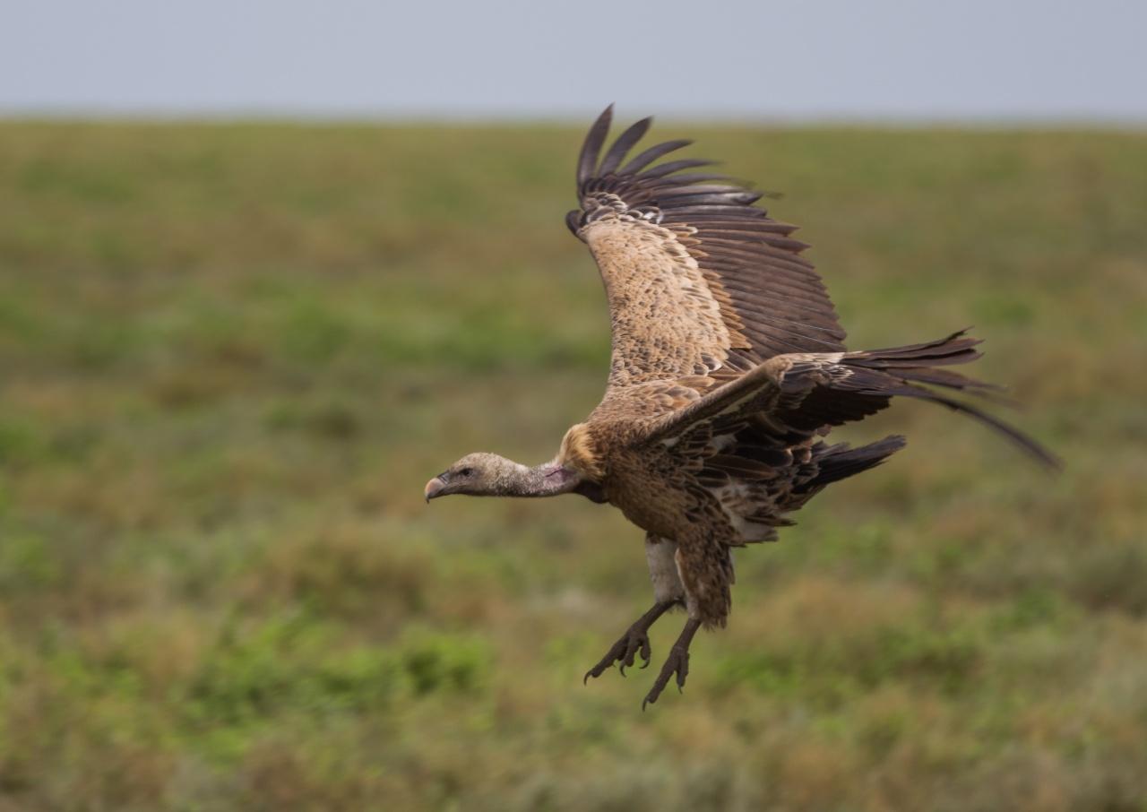 Avvoltoio - Tanzania 2012